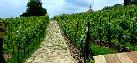 Vinice - Aktron / Wikimedia Commons pod CC